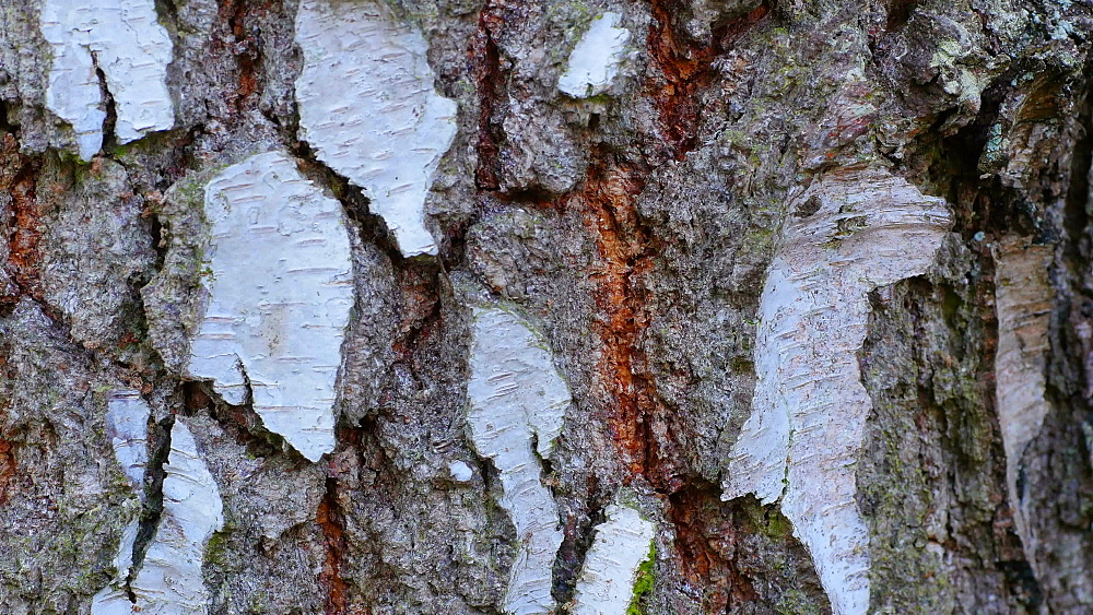 Close-up view of birch bark, Rhineland-Palatinate, Germany, Europe - 396-10346