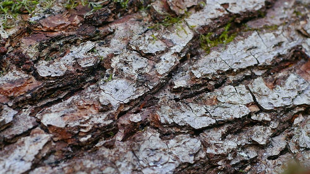 Close-up view of pine bark, Rhineland-Palatinate, Germany, Europe - 396-10347