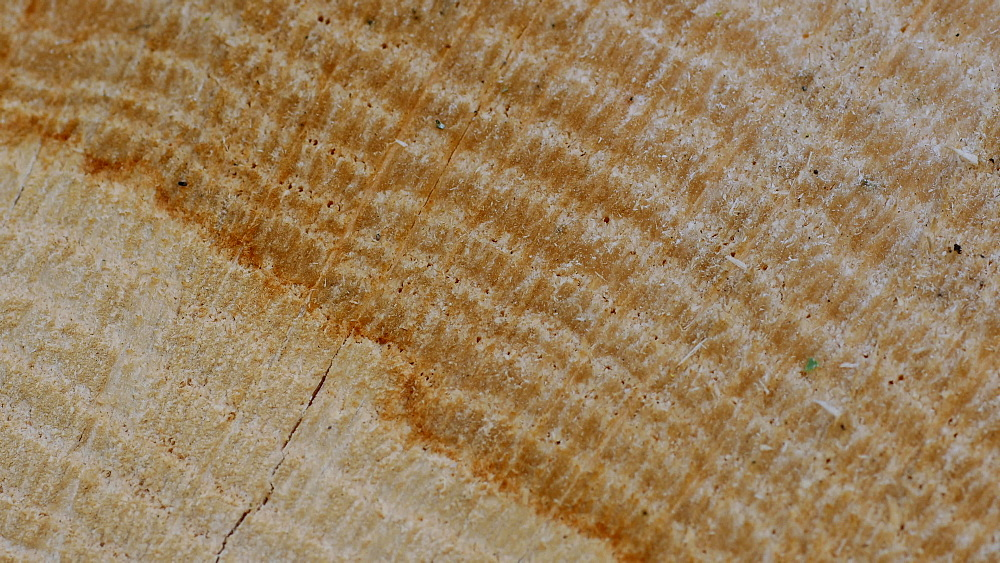 Cross section of a tree trunk with annual rings, Rhineland-Palatinate, Germany, Europe - 396-10348