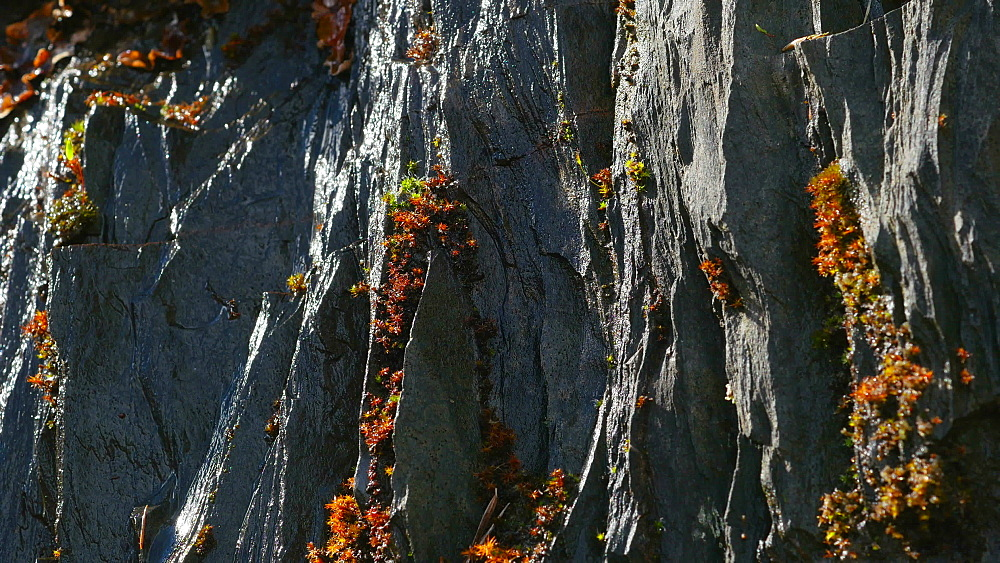 Close-up view of moss on slate rocks, Rhineland-Palatinate, Germany, Europe - 396-10351