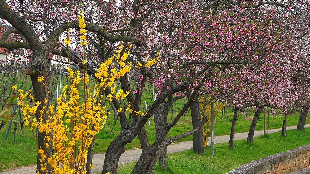 Almond blossom in Gimmeldingen near Neustadt an der Weinstrasse, Rhineland-Palatinate, Germany, Europe - 396-10447