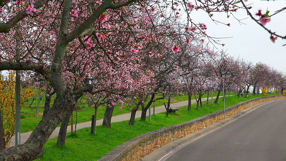 Almond blossom in Gimmeldingen near Neustadt an der Weinstrasse, Rhineland-Palatinate, Germany, Europe - 396-10450