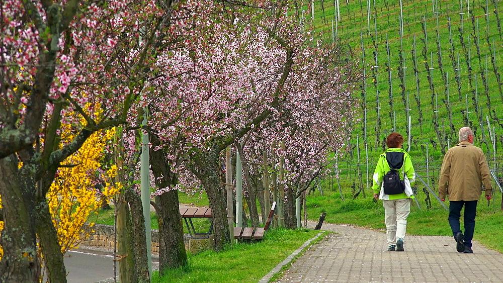 Almond blossom in Gimmeldingen near Neustadt an der Weinstrasse, Rhineland-Palatinate, Germany, Europe - 396-10451