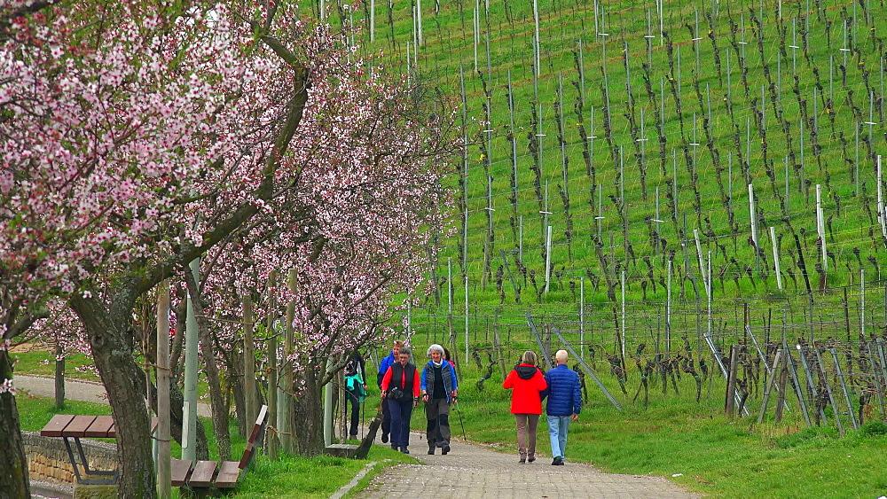 Almond blossom in Gimmeldingen near Neustadt an der Weinstrasse, Rhineland-Palatinate, Germany, Europe - 396-10453