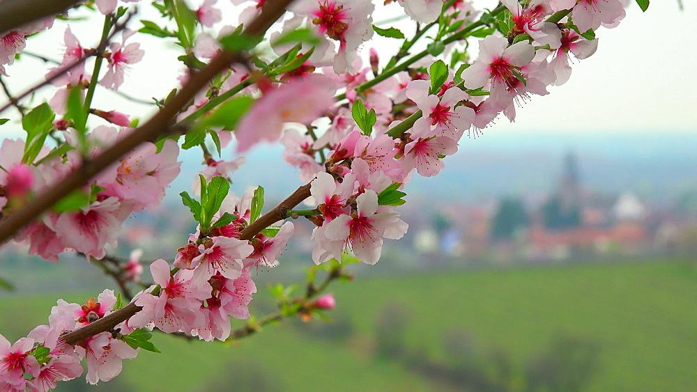 Almond blossom in Gimmeldingen near Neustadt an der Weinstrasse, Rhineland-Palatinate, Germany, Europe - 396-10457