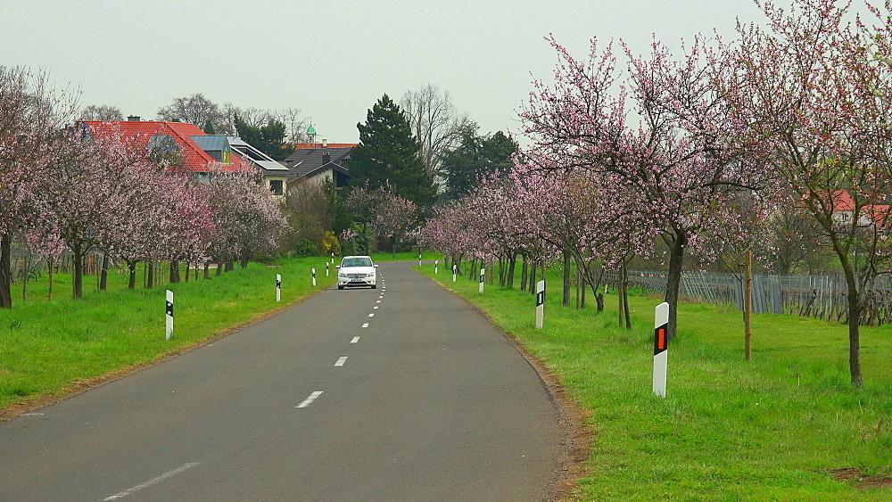 Almond blossom in Gimmeldingen near Neustadt an der Weinstrasse, Rhineland-Palatinate, Germany, Europe - 396-10459