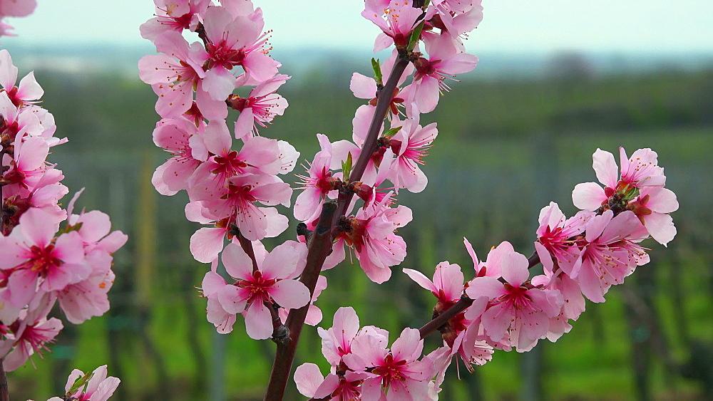 Almond blossom in Gimmeldingen near Neustadt an der Weinstrasse, Rhineland-Palatinate, Germany, Europe - 396-10464