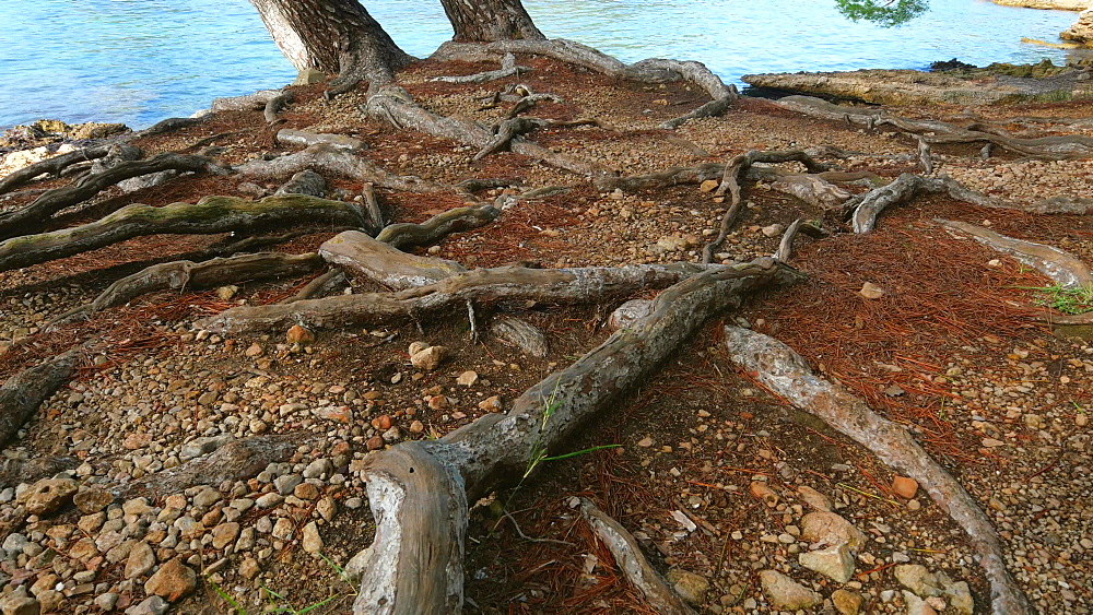 Aerial roots of pine trees, Formentor, Mallorca, Balearic Islands, Spain
