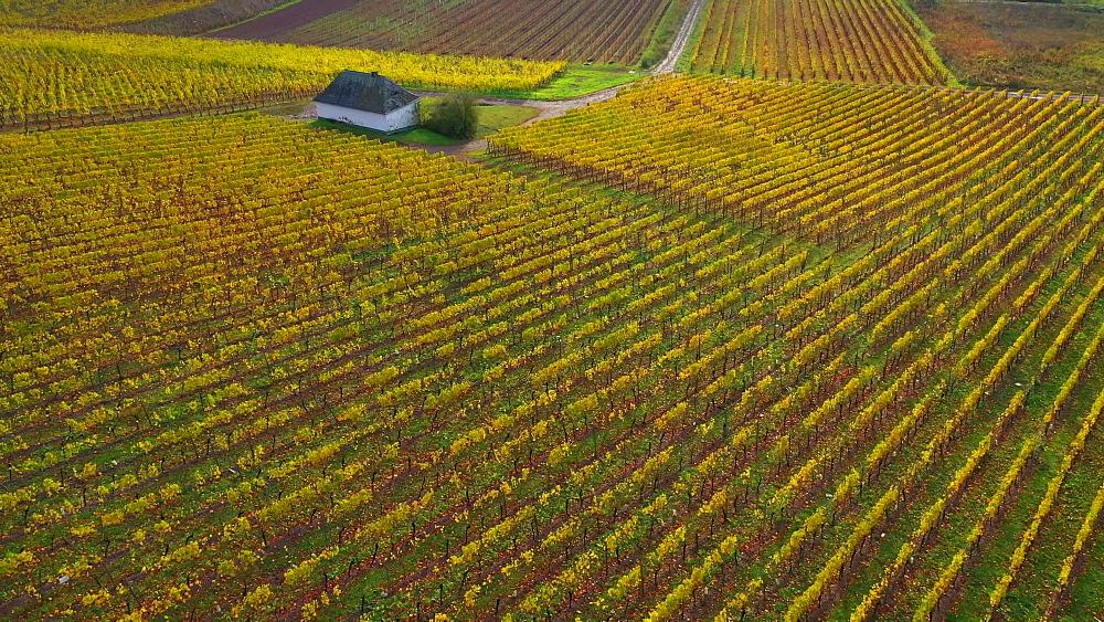 Vineyards in autumn, Wiltingen, Saar Valley, Rhineland Palatinate, Germany, Europe