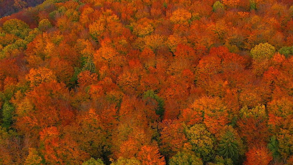 Drone view of woodland in autumn, Saarburg, Rhineland Palatinate, Germany, Europe