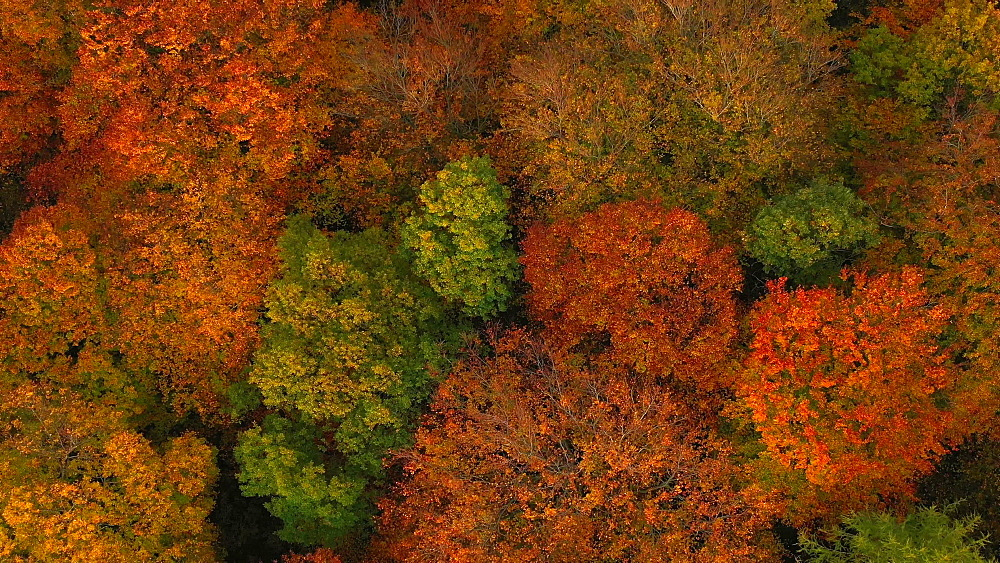 Drone view of woodland in autumn, Saarburg, Rhineland Palatinate, Germany, Europe - 396-10709
