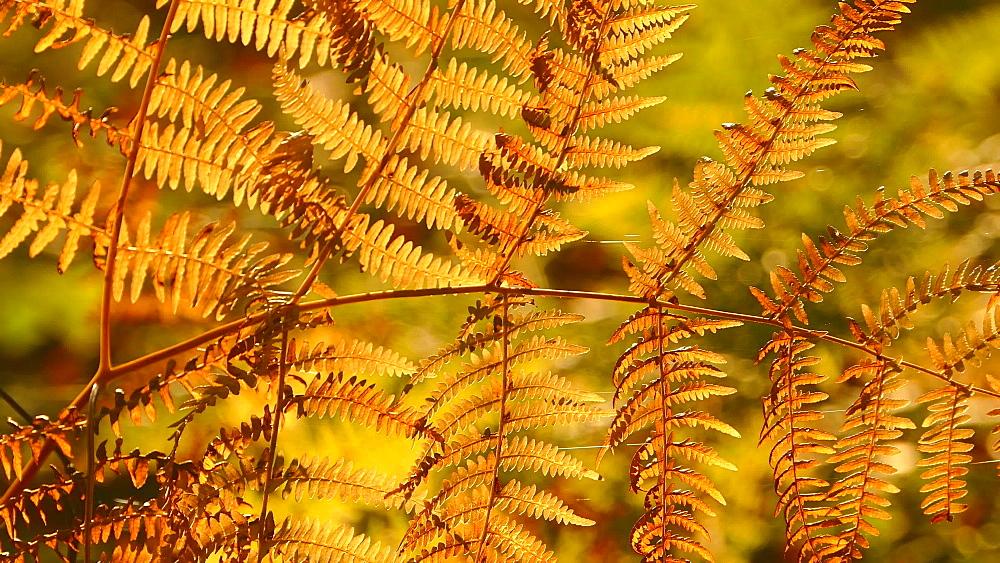 Fern in autumn, Mettlach, Saarland, Germany, Europe