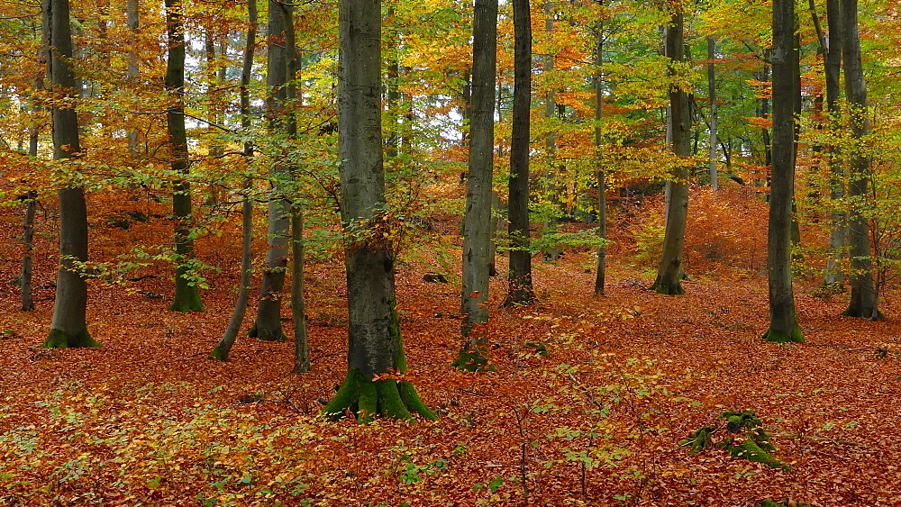 Forest in autumn, Mettlach, Saarland, Germany, Europe