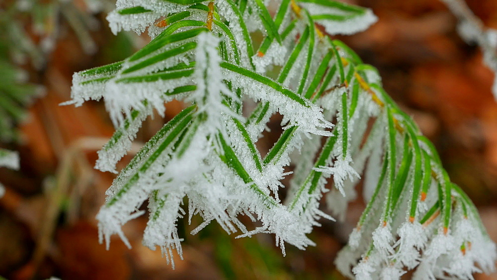 Frost on fir needles, Kirf, Rhineland Palatinate, Germany, Europe - 396-10820