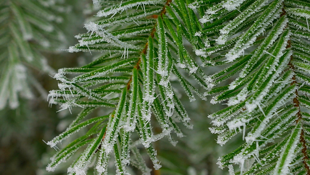 Frost on fir needles, Kirf, Rhineland Palatinate, Germany, Europe