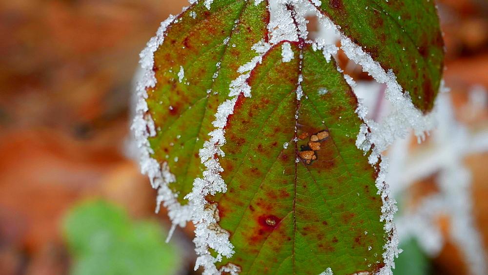 Frost on leaves, Kirf, Rhineland Palatinate, Germany, Europe