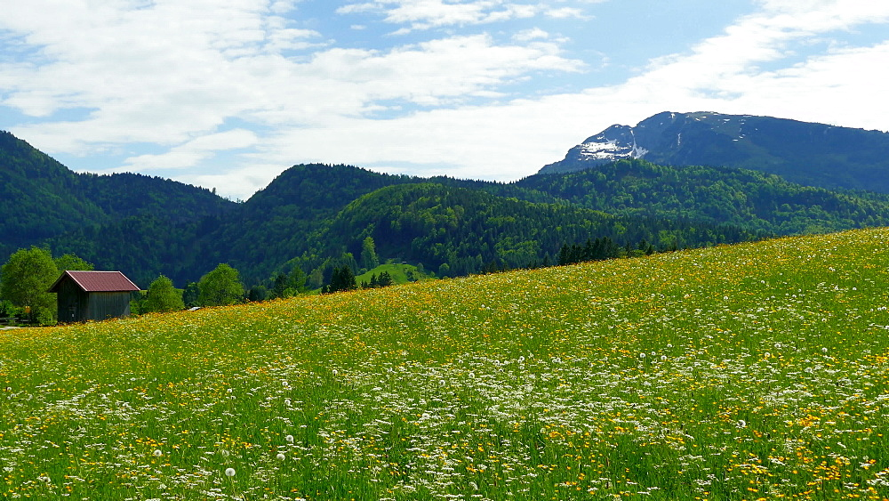 Blooming meadow near Reit im Winkl, Upper Bavaria, Germany, Europe