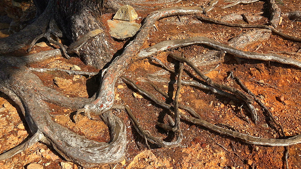 Roots of a pine tree, Majorca, Balearic Islands, Spain, Mediterranean, Europe - 396-6365