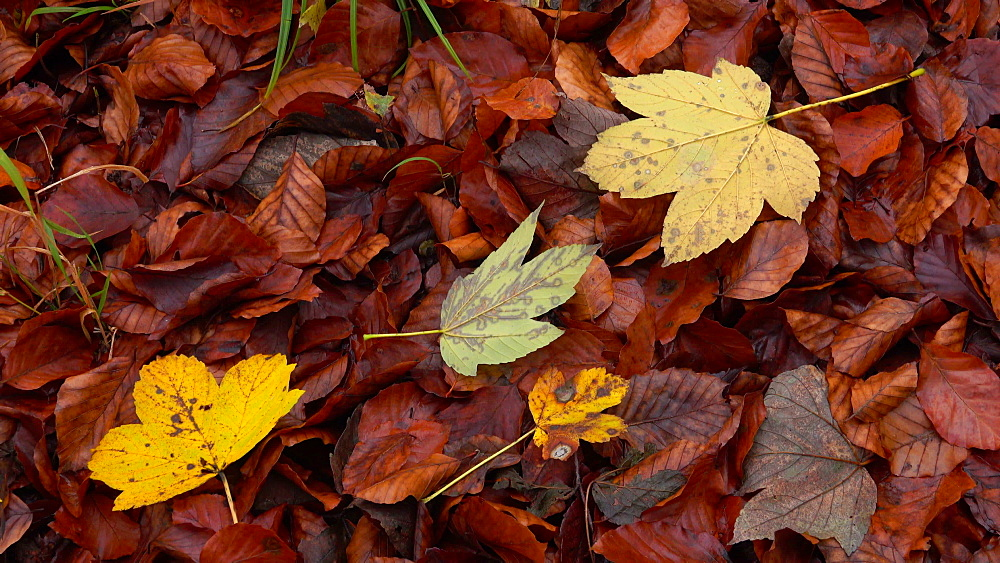Autumn foliage in woodland, Freudenburg, Rhineland-Palatinate, Germany, Europe