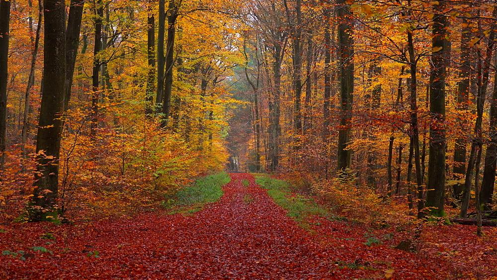 Forest track in autumnal woodland, Freudenburg, Rhineland-Palatinate, Germany, Europe