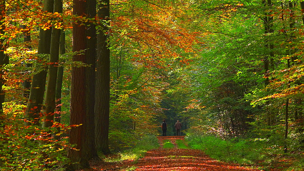 Hiker on forest track in autumn beech forest, Freudenburg, Rhineland-Palatinate, Germany, Europe