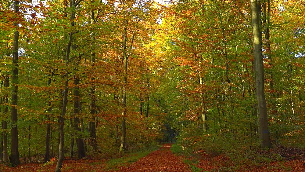 Forest track in autumn beech forest, Freudenburg, Rhineland-Palatinate, Germany, Europe
