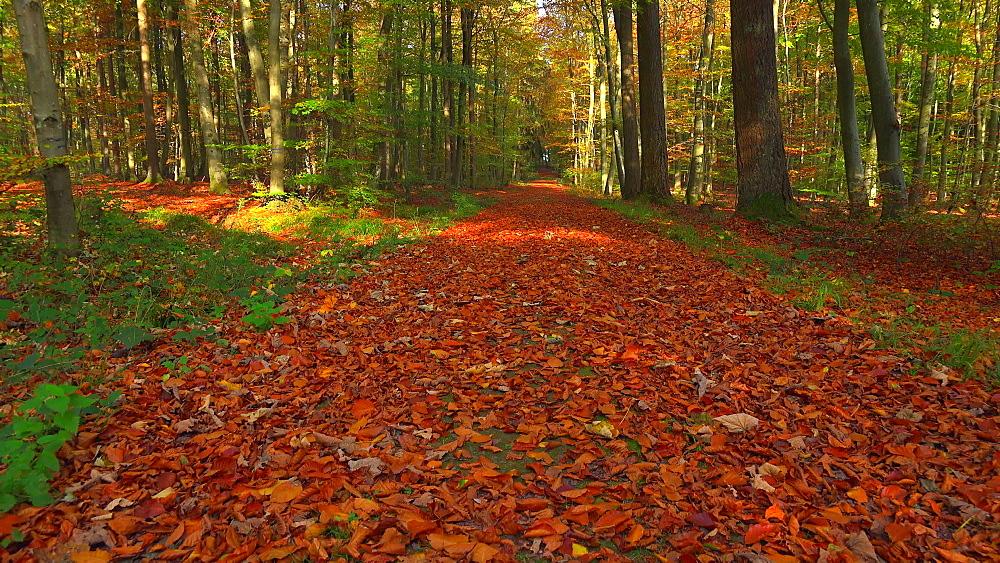Forest track in autumn forest, Freudenburg, Rhineland-Palatinate, Germany, Europe