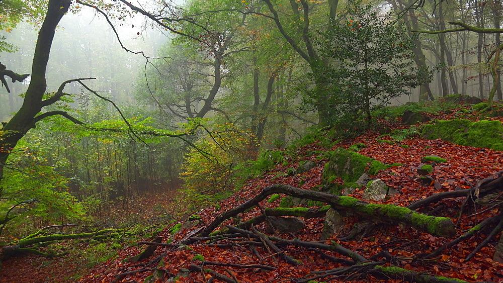 Dead wood in autumn beech forest - 396-7699