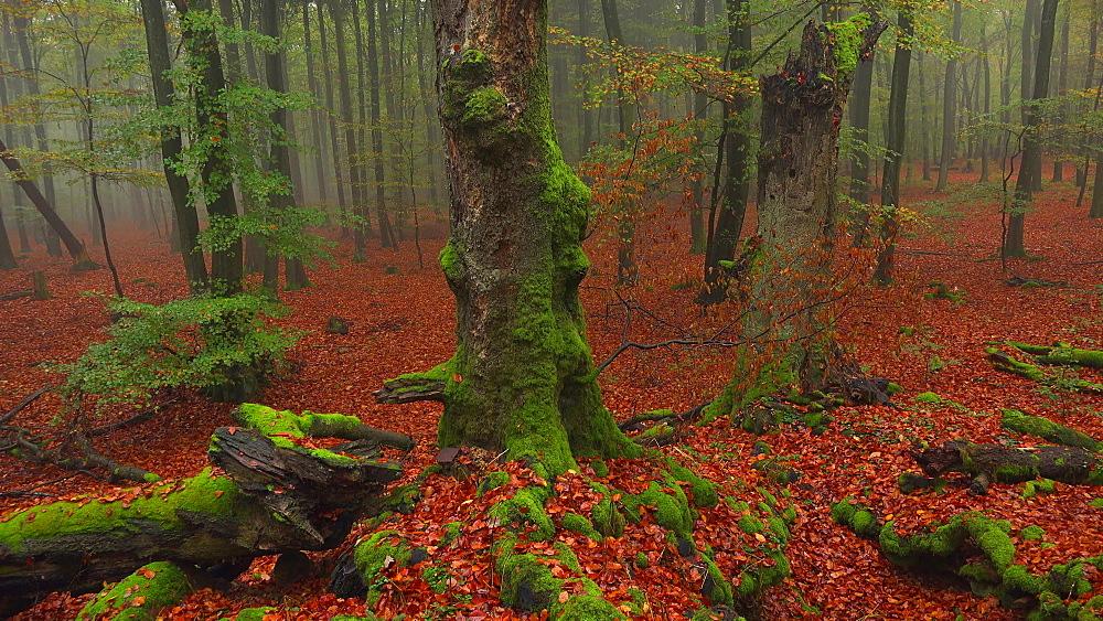 Dead wood in autumn beech forest - 396-7700