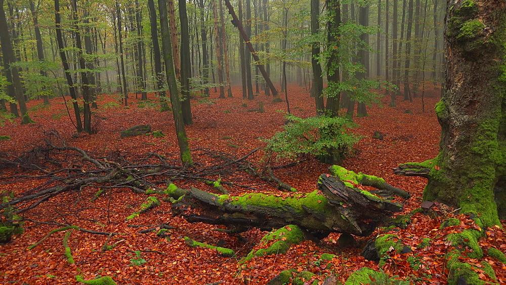 Dead wood in autumn beech forest - 396-7701
