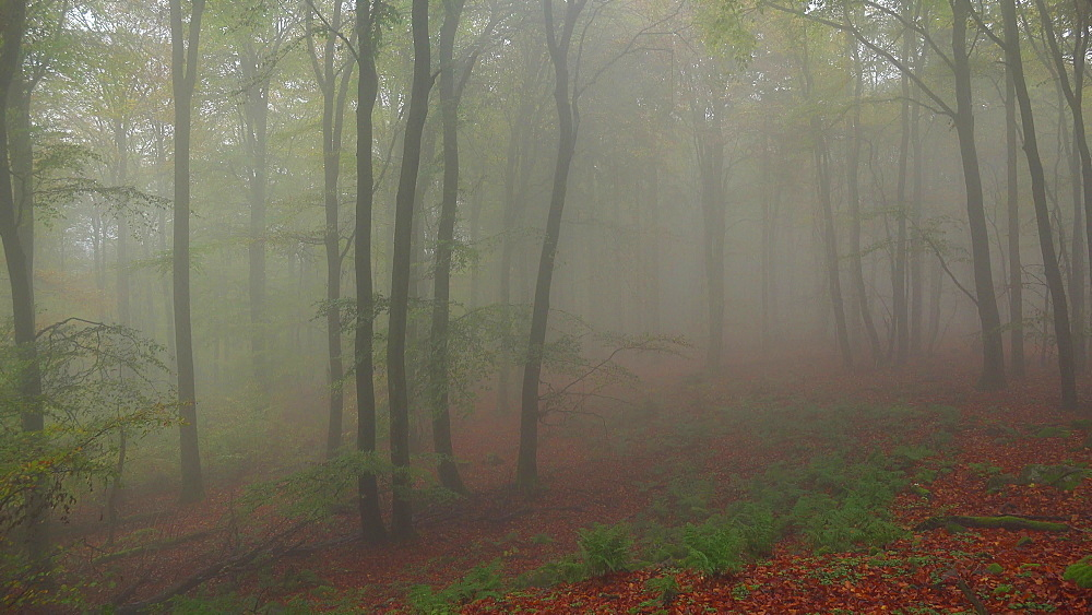 Fog in the autumn beech forest - 396-7702