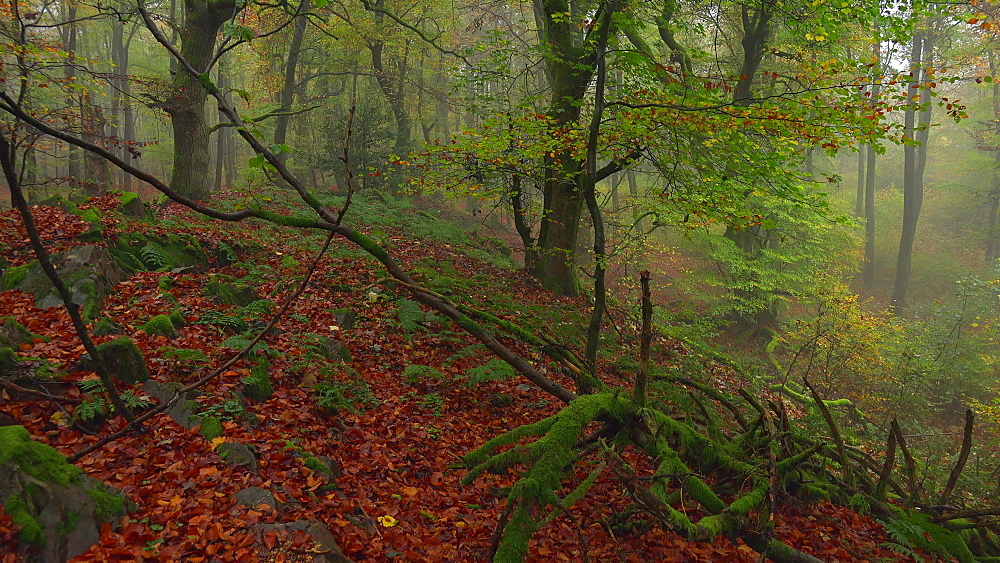 Fog in the autumn beech forest - 396-7703