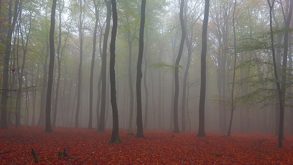 Fog in the autumn beech forest - 396-7709