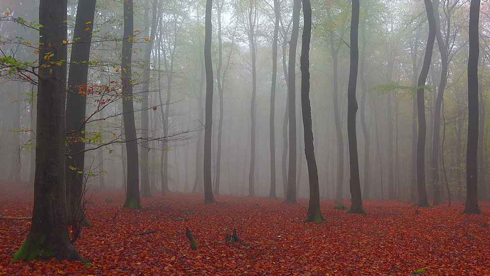 Fog in the autumn beech forest - 396-7710