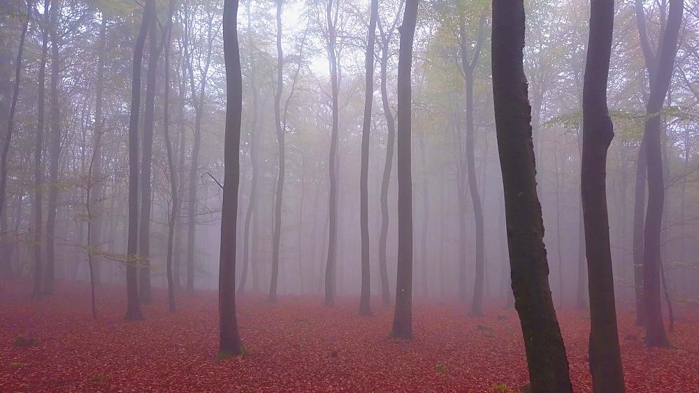Flight through a foggy autumn beech forest - 396-7711