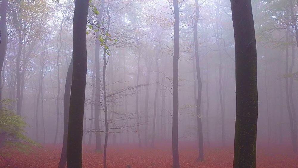 Flight through a foggy autumn beech forest - 396-7712