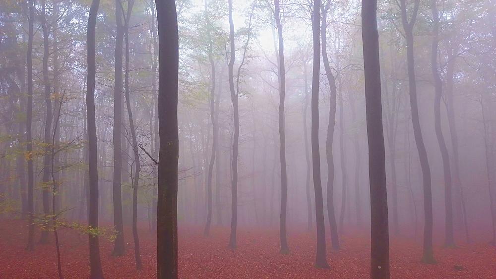 Flight through a foggy autumn beech forest - 396-7714