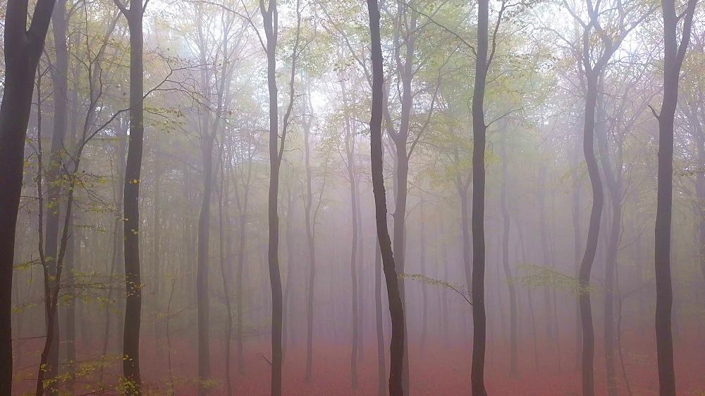 Flight through a foggy autumn beech forest - 396-7715