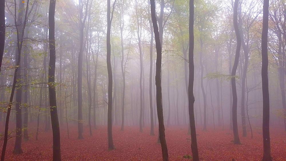 Flight through a foggy autumn beech forest - 396-7716