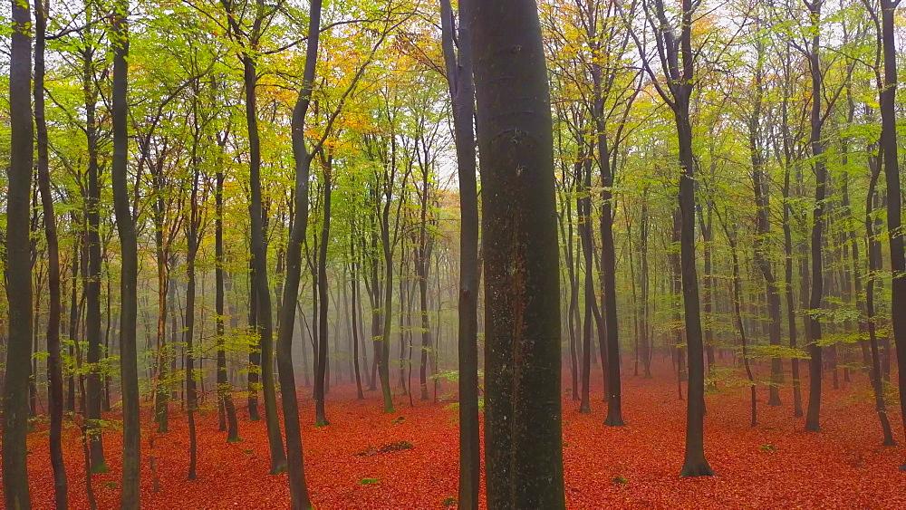Flight through a foggy autumn beech forest - 396-7718