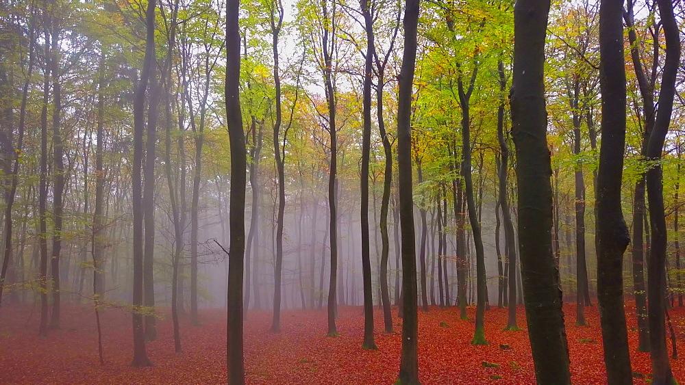 Flight through a foggy autumn beech forest - 396-7719