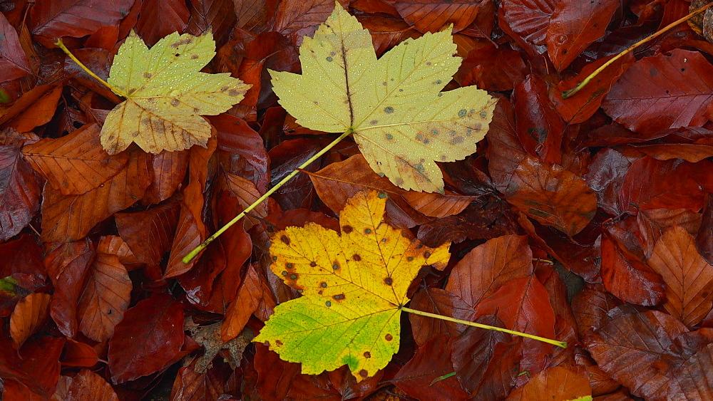 Autumn leaves, Freudenburg, Rhineland-Palatinate, Germany, Europe