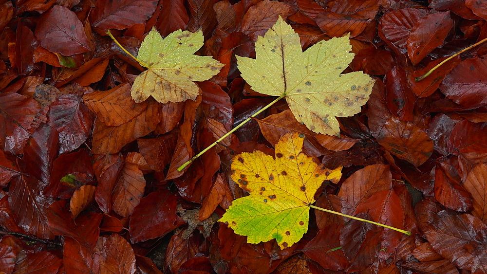 Autumn leaves - 396-7729