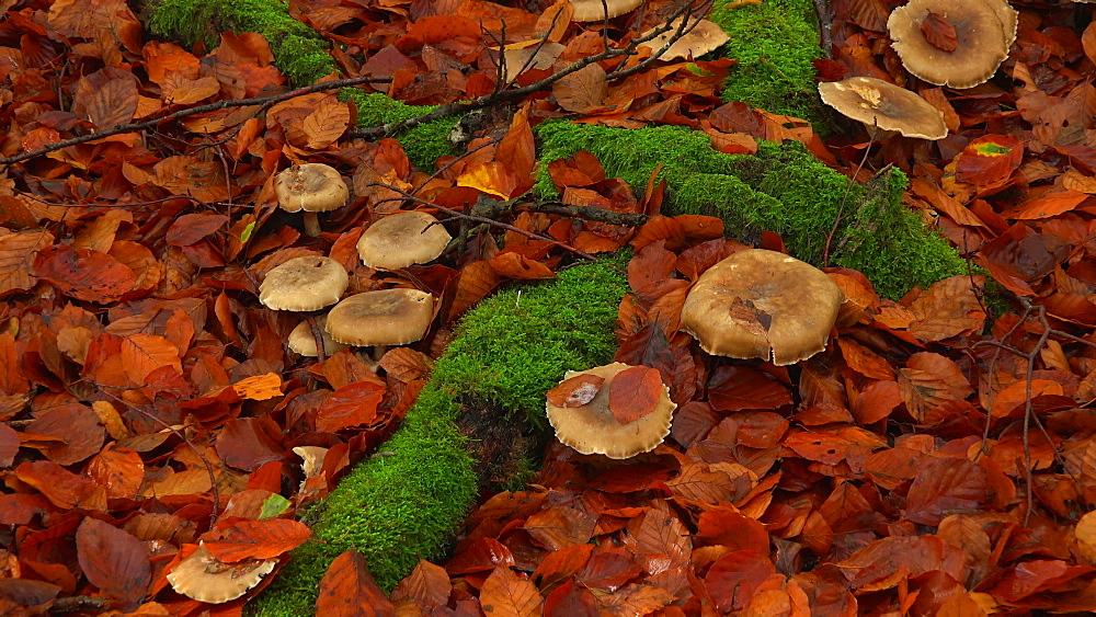 Wild mushrooms in autumn forest - 396-7734