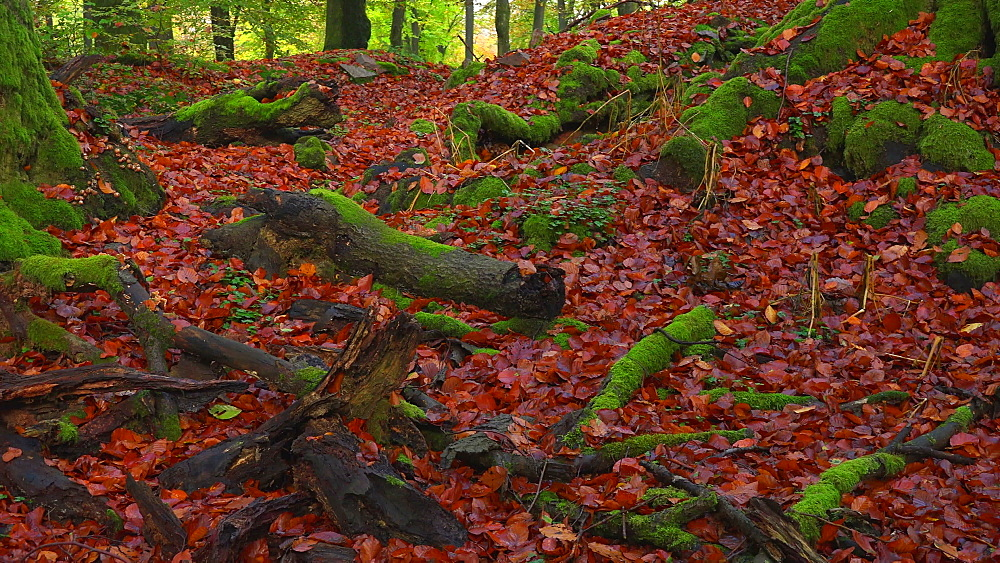 Dead wood in autumn forest - 396-7736