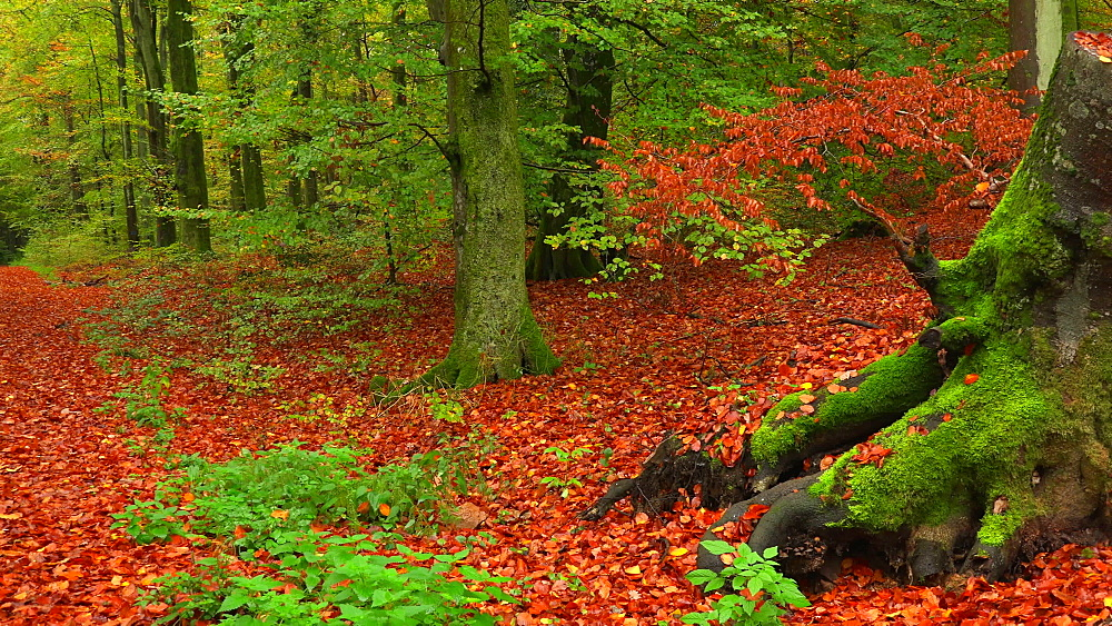 Tree trunk in autumn forest - 396-7737