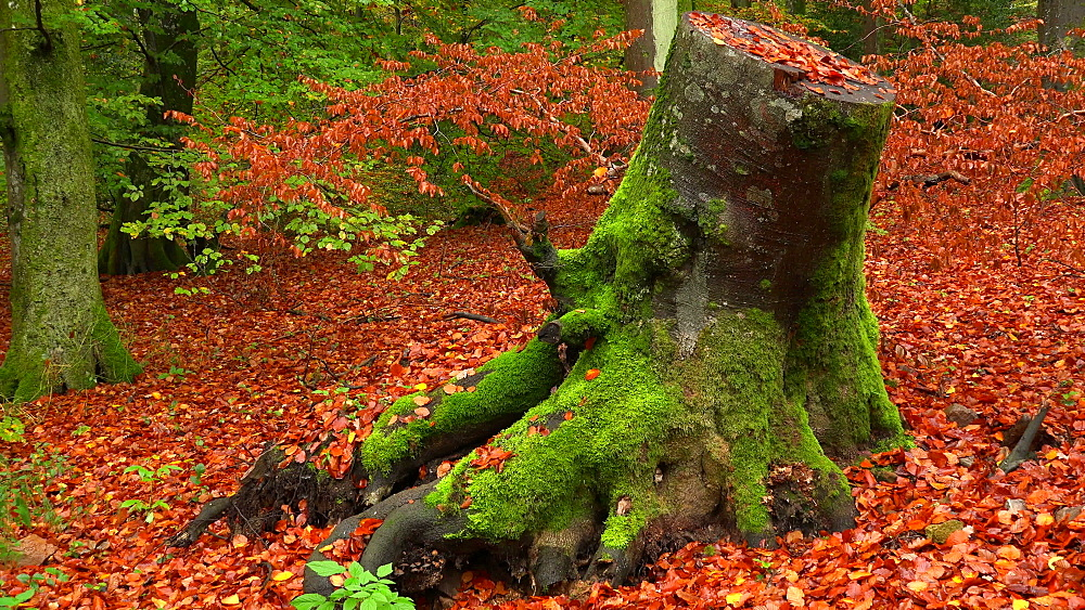 Tree trunk in autumn forest - 396-7738