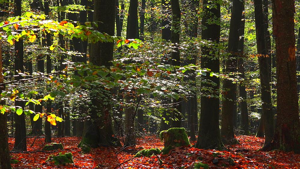 Foliage in beech forest, Freudenburg, Rhineland-Palatinate, Germany, Europe