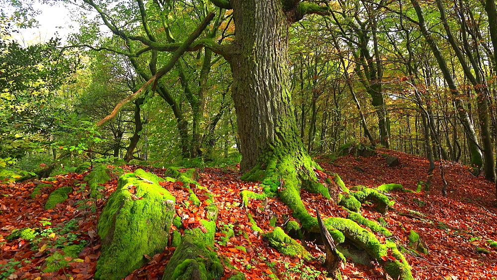 Dead wood in beech forest - 396-7742