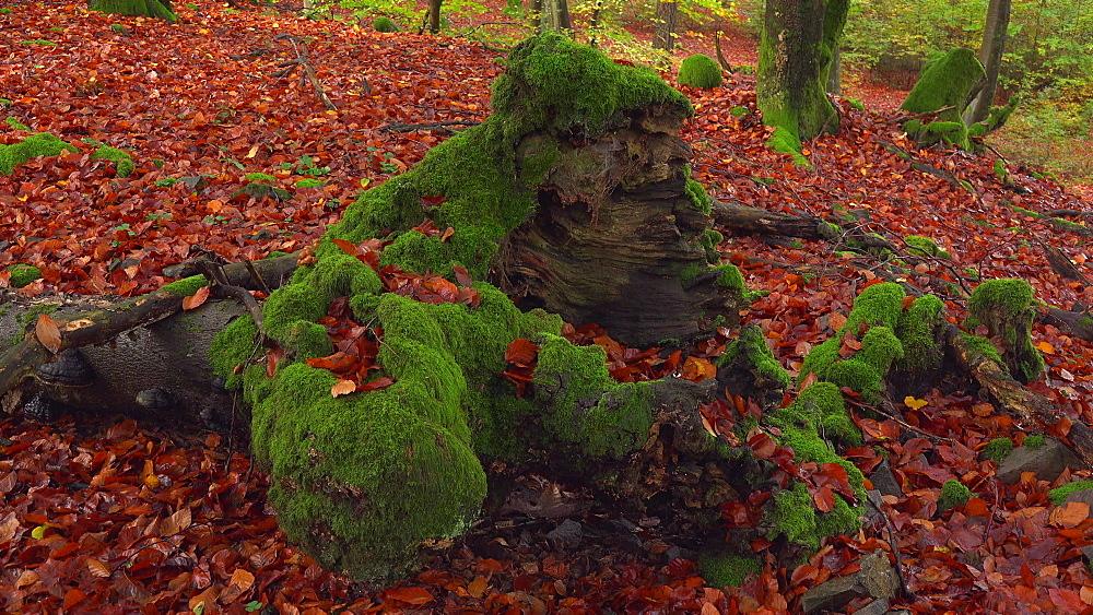 Dead wood in beech forest - 396-7743